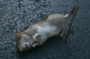 800px-2008-09-18_Ants_eating_a_dead_rat_in_a_parking_lot