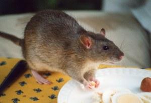 Rat_agouti
