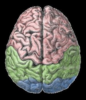 300px-Cerebral_lobes.png