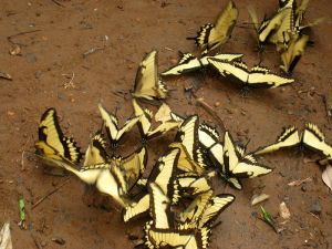 Swarm_of_Broad-banded_Swallowtail_(Iguazú,_Argentina_-_2009)-1