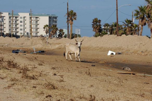 800px-FEMA_-_38657_-_Stray_cow_roams_in_hurricane_impacted_areas