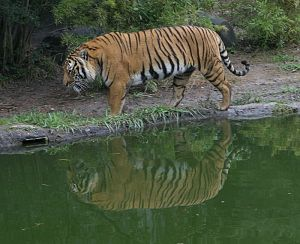 800px-Indochinese_Tiger