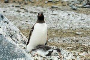 1024px-Brown_Bluff-2016-Tabarin_Peninsula–Gentoo_penguin_(Pygoscelis_papua)_05