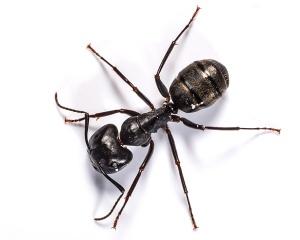 black-ant
