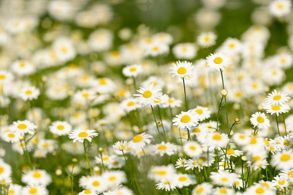 Field_of_Daisies_(9120905231)