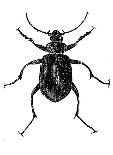 ground-beetle