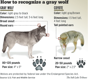 USFWS_-_How_to_recognise_a_gray_wolf